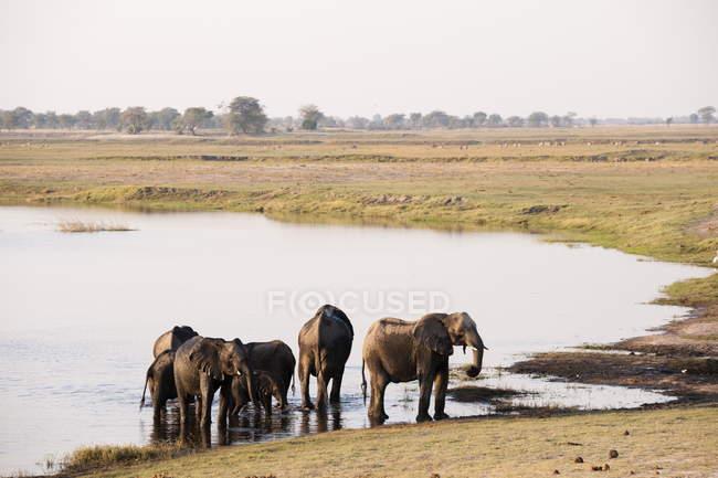 Água potável de elefantes na lagoa — Fotografia de Stock