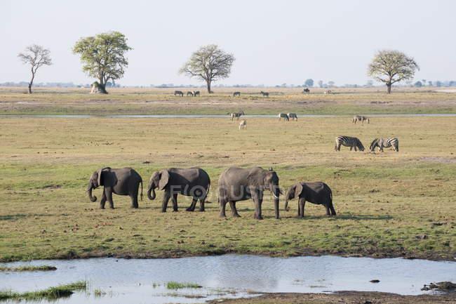 Elefantes em pé perto de lagoa em campo — Fotografia de Stock