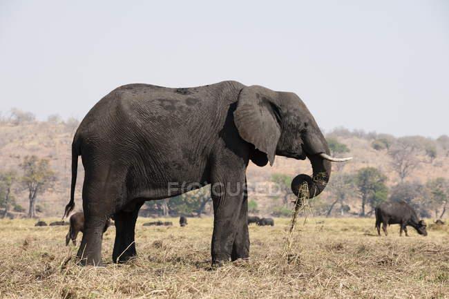 Pé de elefante no campo — Fotografia de Stock