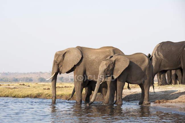Elefantes em pé na água — Fotografia de Stock