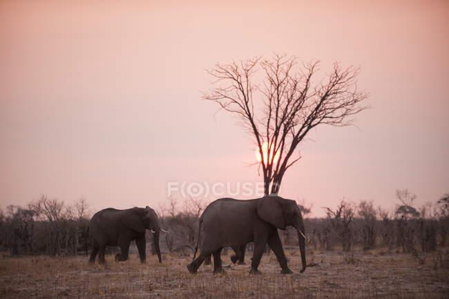 Elefantes caminhando sobre campo durante o pôr do sol — Fotografia de Stock