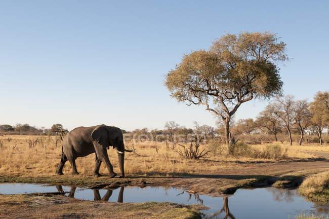Elefante andando perto do poço de água — Fotografia de Stock