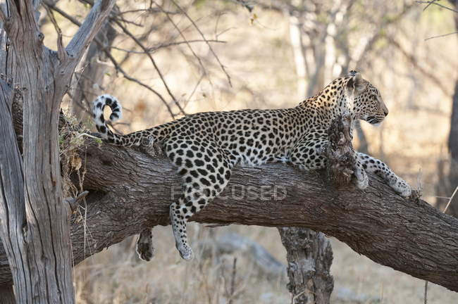 Leopard laying on tree — Stock Photo