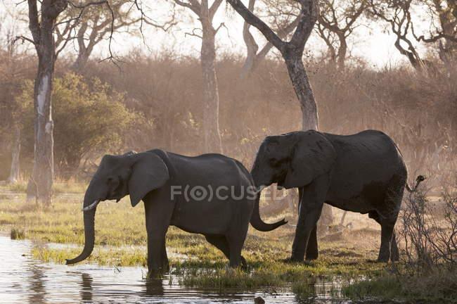 Andando na água sobre árvores de elefantes — Fotografia de Stock