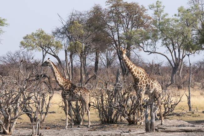 Giraffes standing among trees — Stock Photo