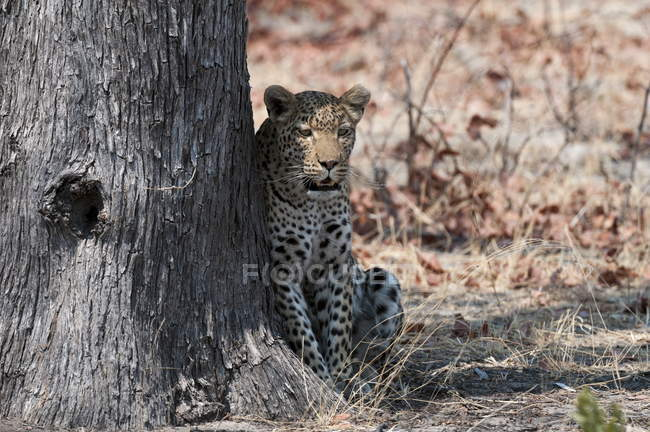 Leopard sitting against tree — Stock Photo