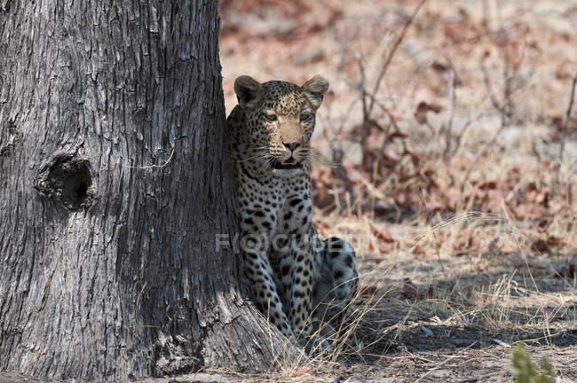 Леопард, сидя против дерево — стоковое фото