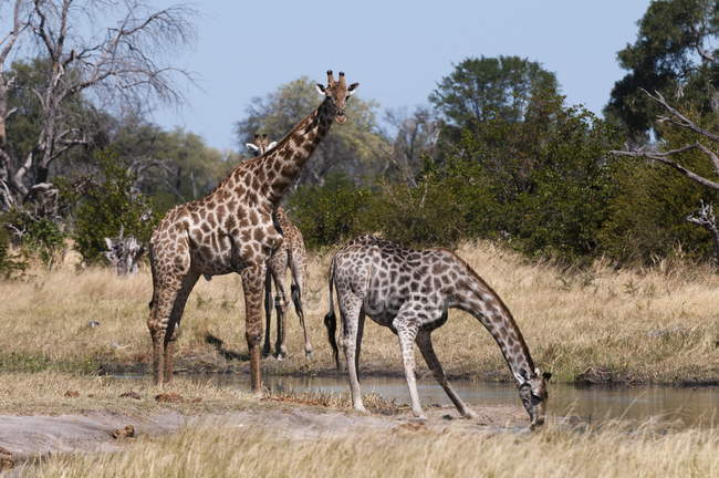 Acqua potabile del sud giraffe — Foto stock