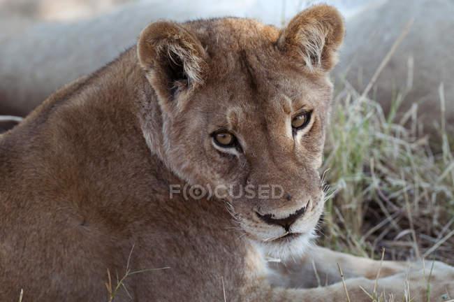 Лев, лежащий на земле — стоковое фото