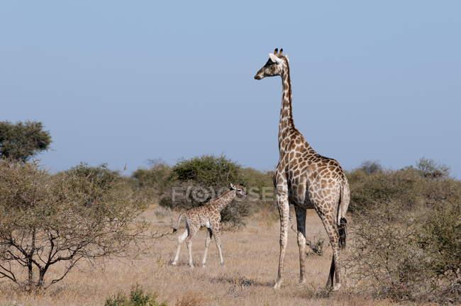 Giraffe del sud nel campo del deserto — Foto stock