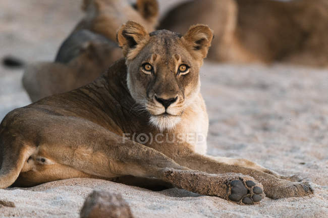 Lion couché sur le sable — Photo de stock