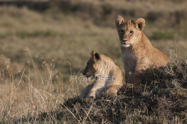 Lions laying on ground during daytime — Stock Photo
