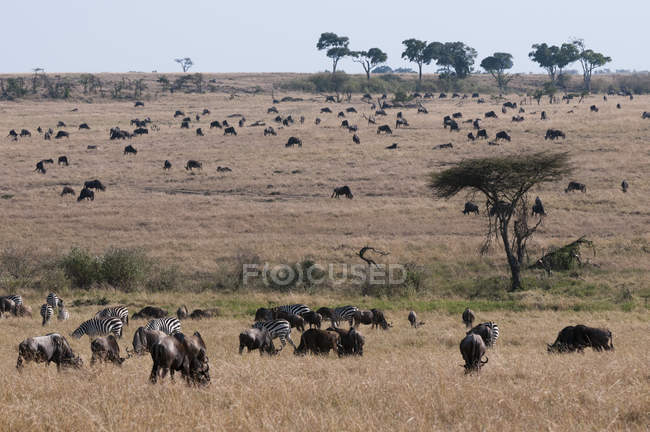 Wildebeests pasturing on field — Stock Photo