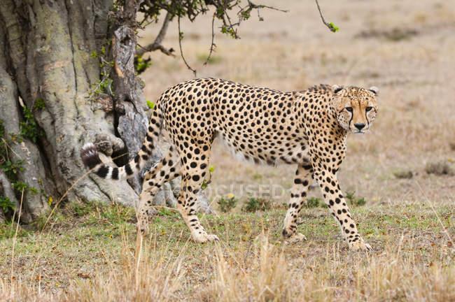 Ghepardo a piedi vicino all'albero — Foto stock