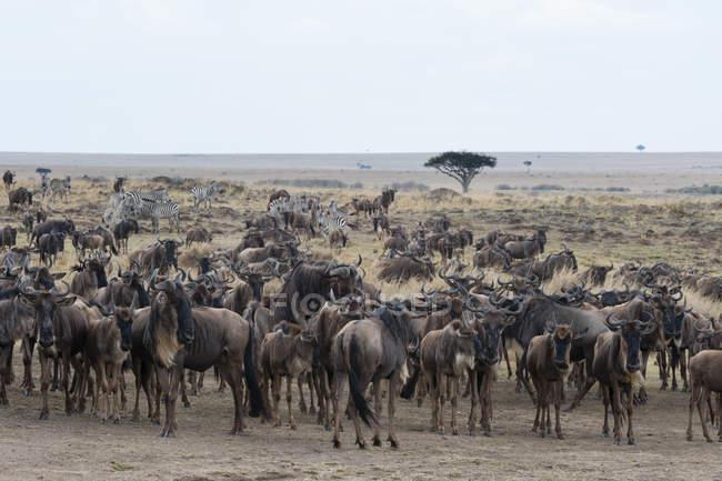 Mandria di GNU attraversando archiviato — Foto stock
