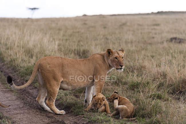 Лев матері з цуценят — стокове фото