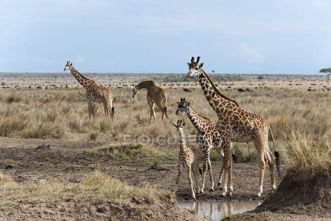 Масаї жирафи дорослих-молодий порід — стокове фото