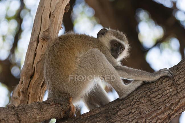 Vervet мавпи переміщення на дереві — стокове фото