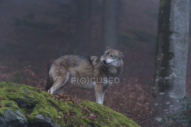 Серый волк в лесу — стоковое фото