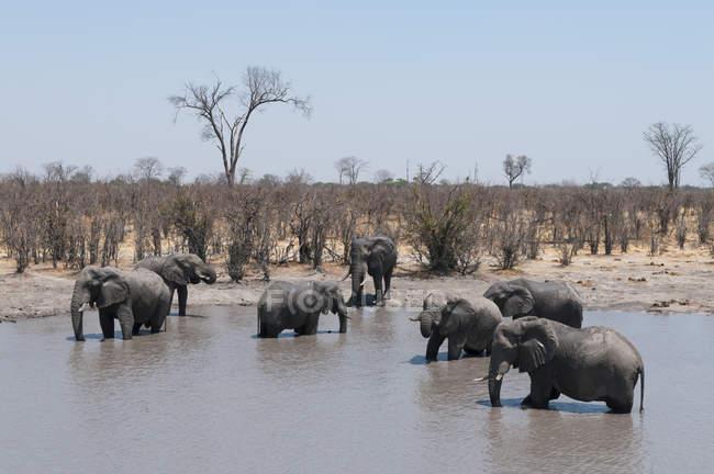 Horda de elefantes africanos em água — Fotografia de Stock
