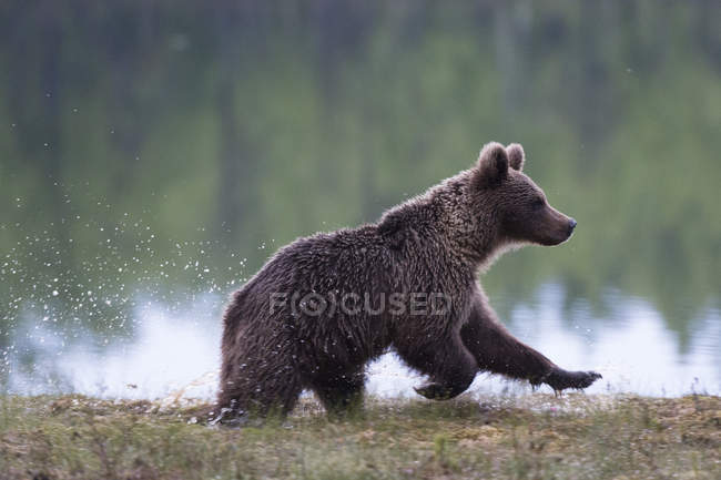 European brown bear — Stock Photo