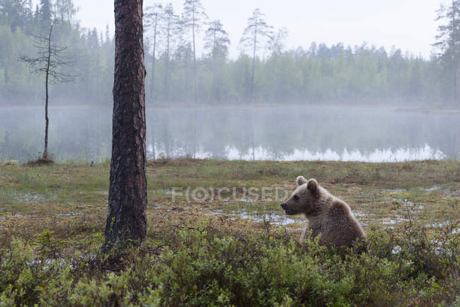 Brown bear laying against tree, — Stock Photo