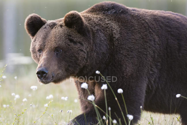 Brown bear walking over meadow — Stock Photo