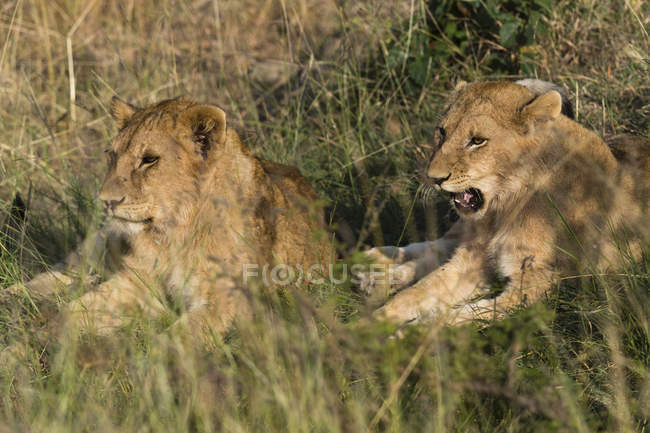 Lions resting on ground among grass — Stock Photo