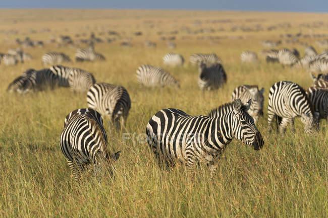 Cebras de la llanura, quagga de Equus - foto de stock