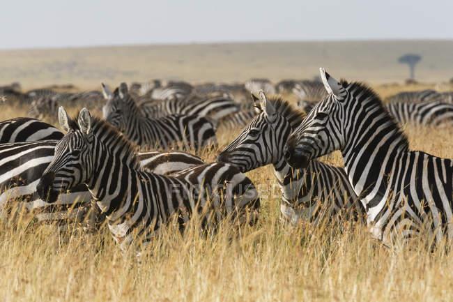 Рівнини зебр, quagga кінь — стокове фото