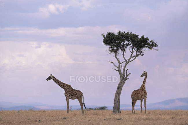 Two giraffes with acacia tree — Stock Photo
