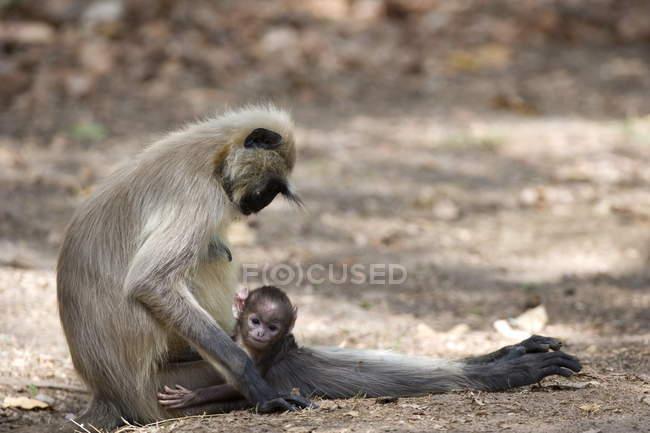 Gemeinsamen Languren, Mutter mit Kalb — Stockfoto