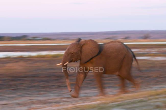 Elefante africano andando em Prado — Fotografia de Stock