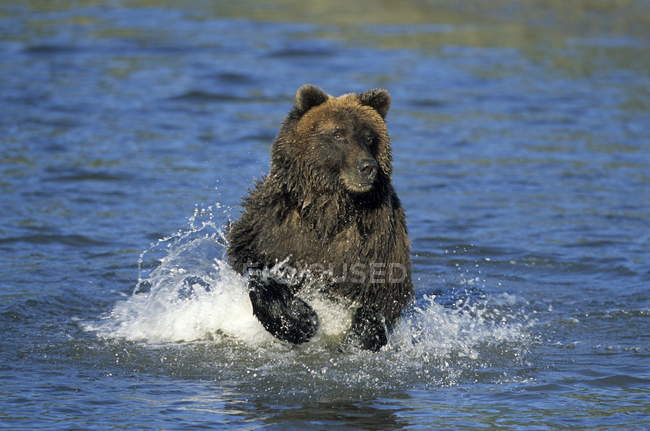 Brown Bear running through water — Stock Photo