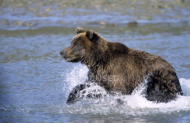 Brown Bear running through water — Stock Photo