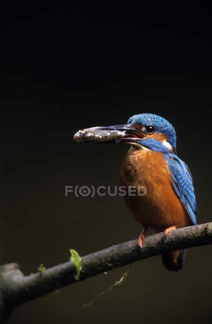 Martin pescatore sulla filiale di albero — Foto stock