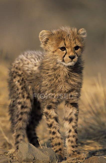 Pie de cría de Cheetah en campo - foto de stock