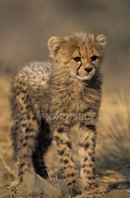 Гепард щенка стоя на поле — стоковое фото