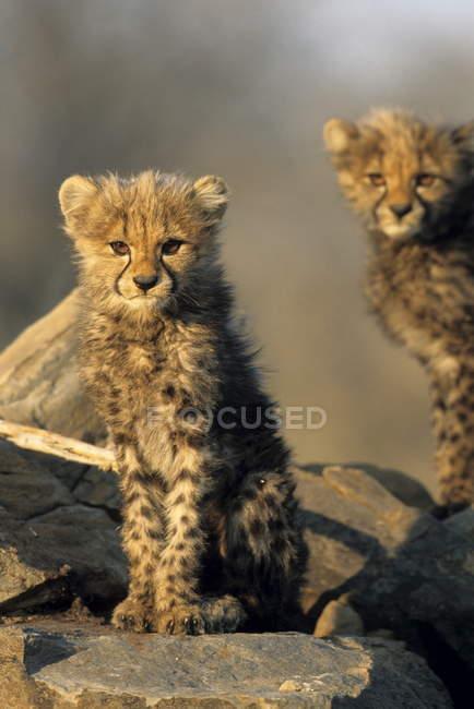 Детеныши гепарда, стоя на камнях — стоковое фото