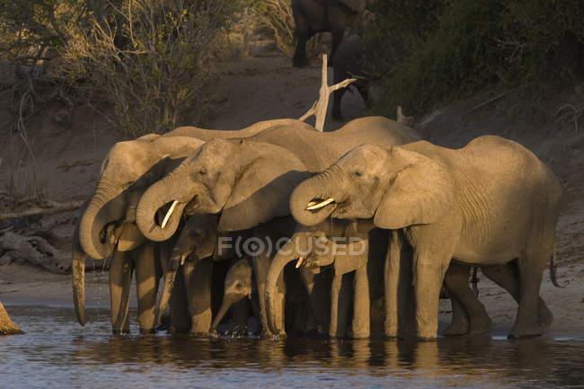 Elefantes africanos em waterplace — Fotografia de Stock