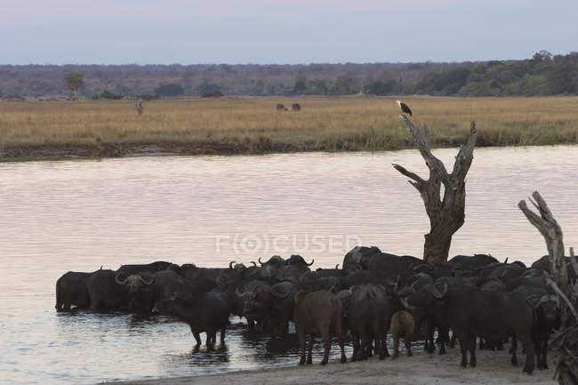 Búfalos Africano, Syncerus caffer — Fotografia de Stock