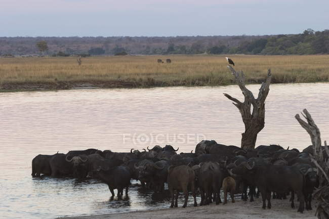 African buffalos, Syncerus caffer — Stock Photo