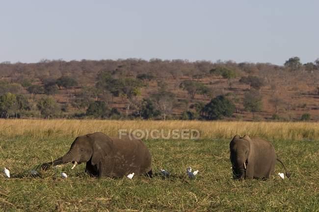 Elefantes sentado no campo sobre a grama — Fotografia de Stock