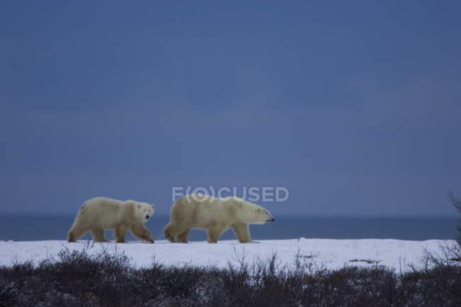 Ours polaire avec cub — Photo de stock