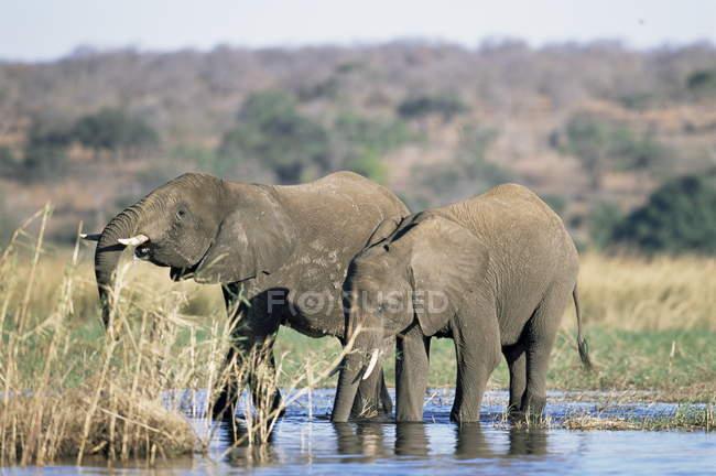Elefantes, Loxodonta africana — Fotografia de Stock