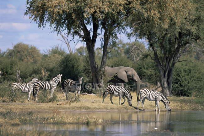 Elefantes e zebras no Rio Khwai — Fotografia de Stock