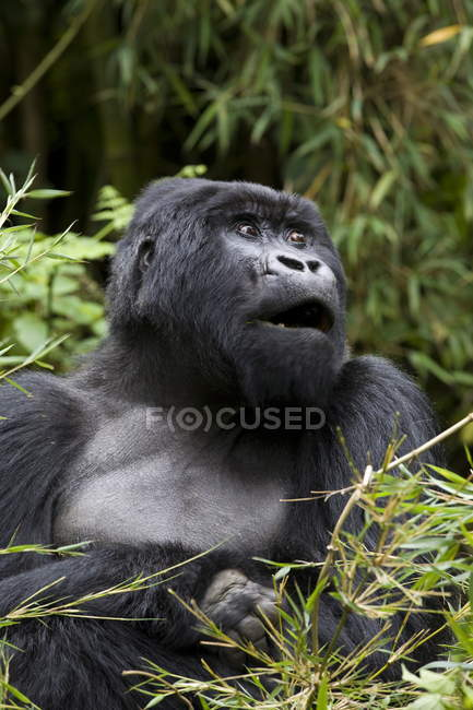 Mountain gorilla looking at camera — Stock Photo