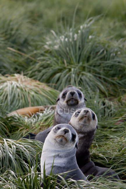 Guarnizioni di pelliccia antartiche — Foto stock