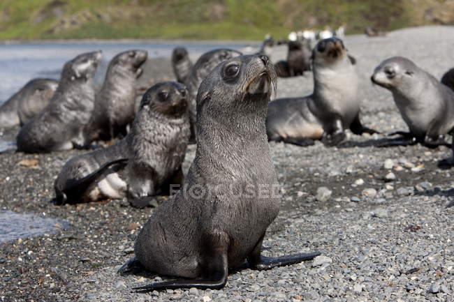 Otarie à fourrure Antarctique chiots — Photo de stock
