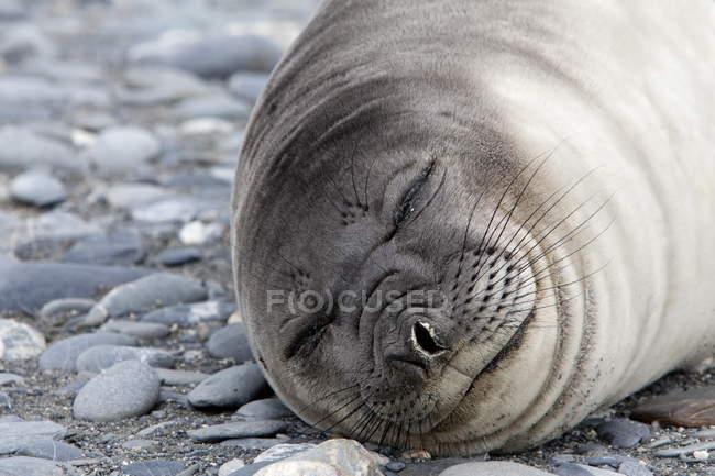 Phoque de Weddell dormir — Photo de stock